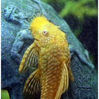 Ancistrus Temminckii (Gold / Red Eyes) - Ancistrus Temmincki (L144)