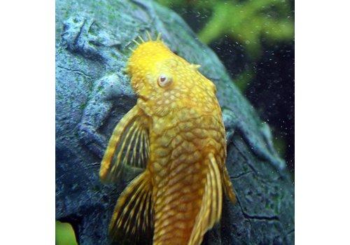 Ancistrus (Gold)
