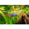 Paradijsvis Blauw - Macropodus Opercularis Blue