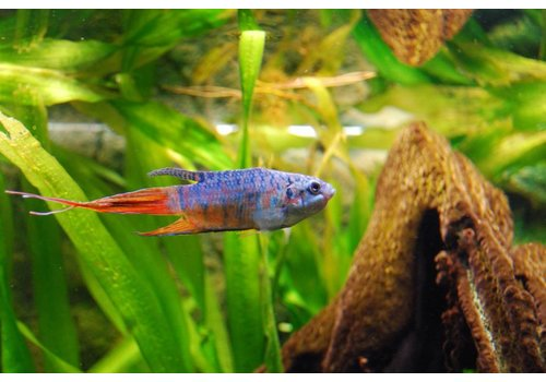 Paradisefish Blue