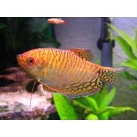 Gold Gourami Orange - Trichogaster Trichopterus Gold Orange