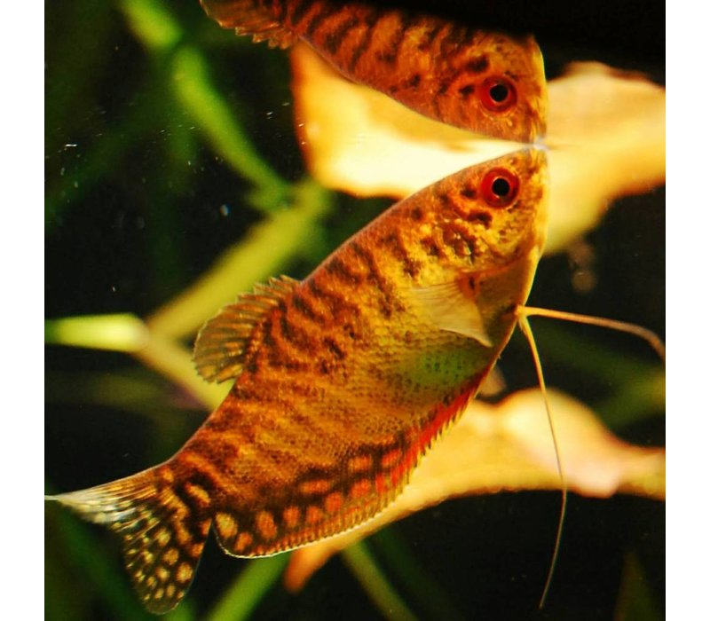 Goudgourami Oranje - Trichogaster Trichopterus Gold Orange