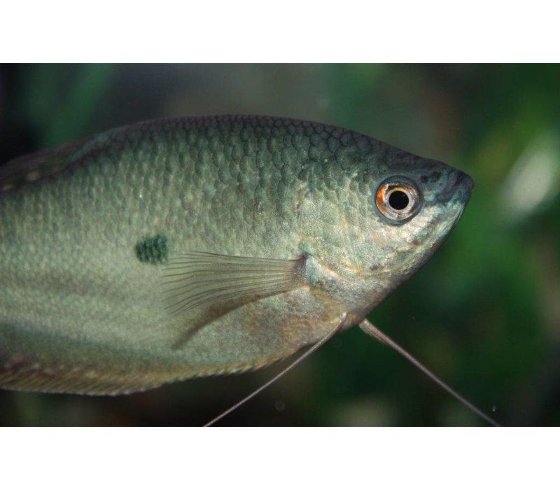 Blauwe Spat - Trichogaster Trichopterus 'Cosby'