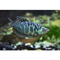 Three Spot Gourami (Marble) - Trichogaster Trichopterus 'Cosby'