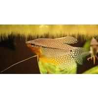 Diamant Gourami - Trichogaster Leeri