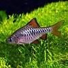 Blauwe Barbeel - Barbus Oligolepis