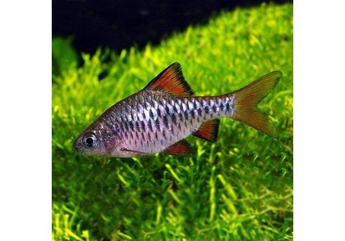 Checker Barb