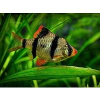 Sumatraan L - Barbus Tetrazona