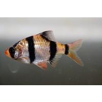 Tiger Barb - Barbus Tetrazona