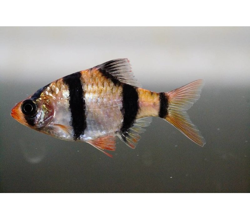 Sumatraan - Barbus Tetrazona
