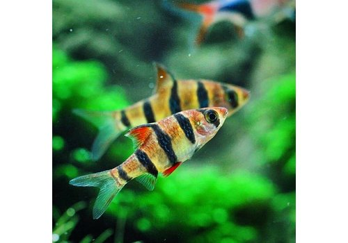Five-Banded Barb