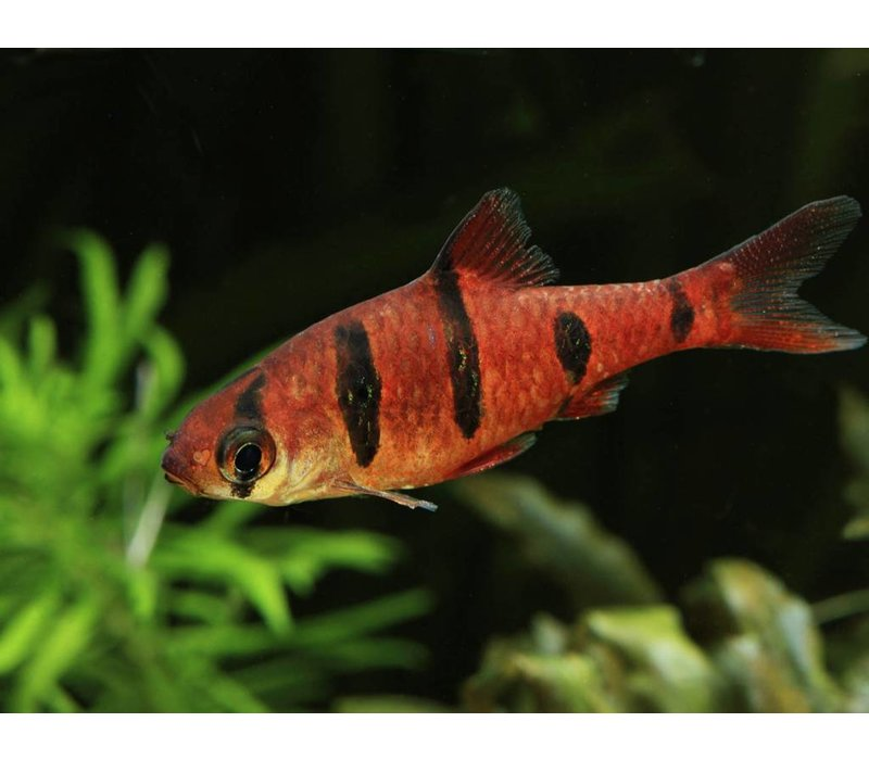 Five-Banded Barb - Puntius Pentazona