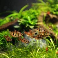 Vijfstreep Barbeel - Puntius Pentazona
