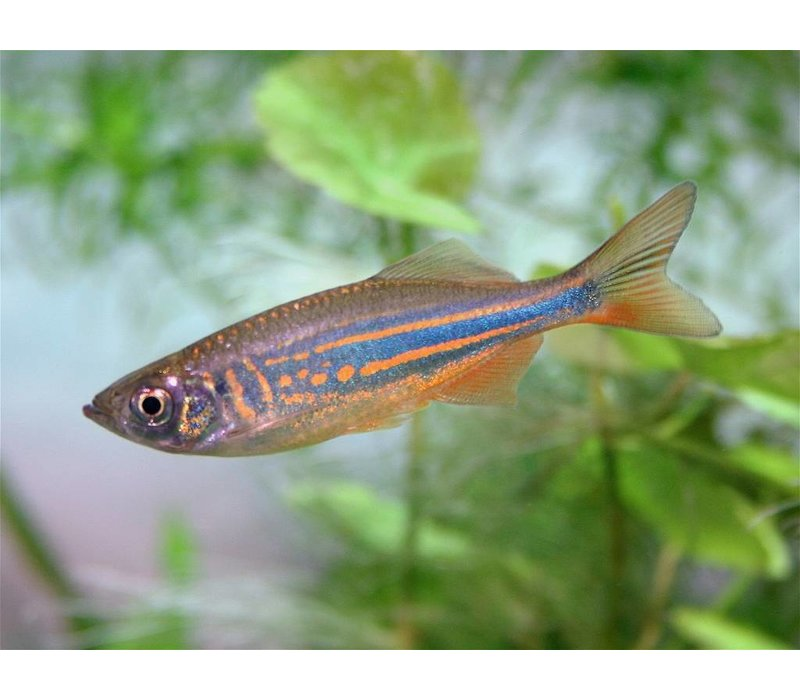 Reuze Danio - Brachydanio Aequipinnatus/Malabaricus