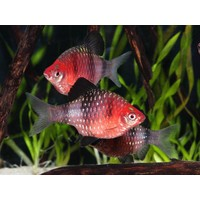 Black Ruby Barb - Barbus Nigrofasciatus