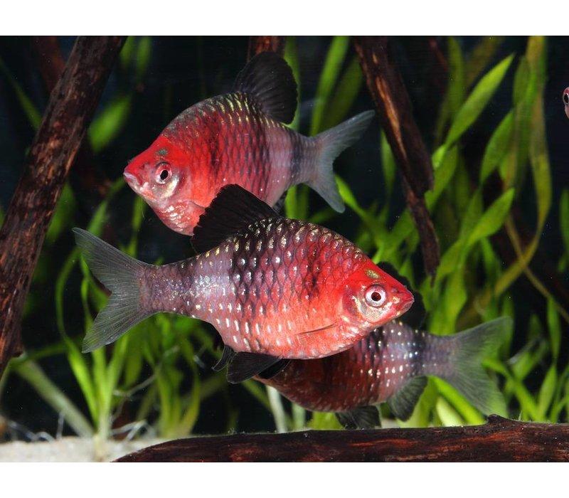 Purperkop - Barbus Nigrofasciatus