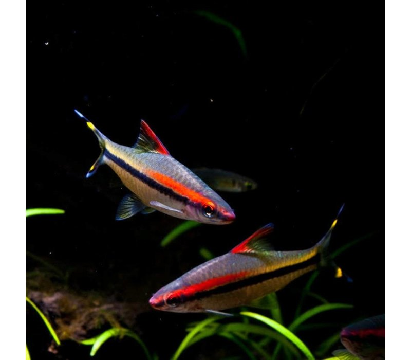 Torpedobarbeel - Puntinus Denisonii