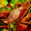 Rosy barb - Barbus Conchonius