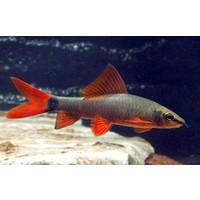 Rainbow shark - Epalzeorhynchos Frenatus