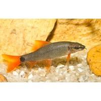 Labeo Frenatus - Epalzeorhynchos Frenatus
