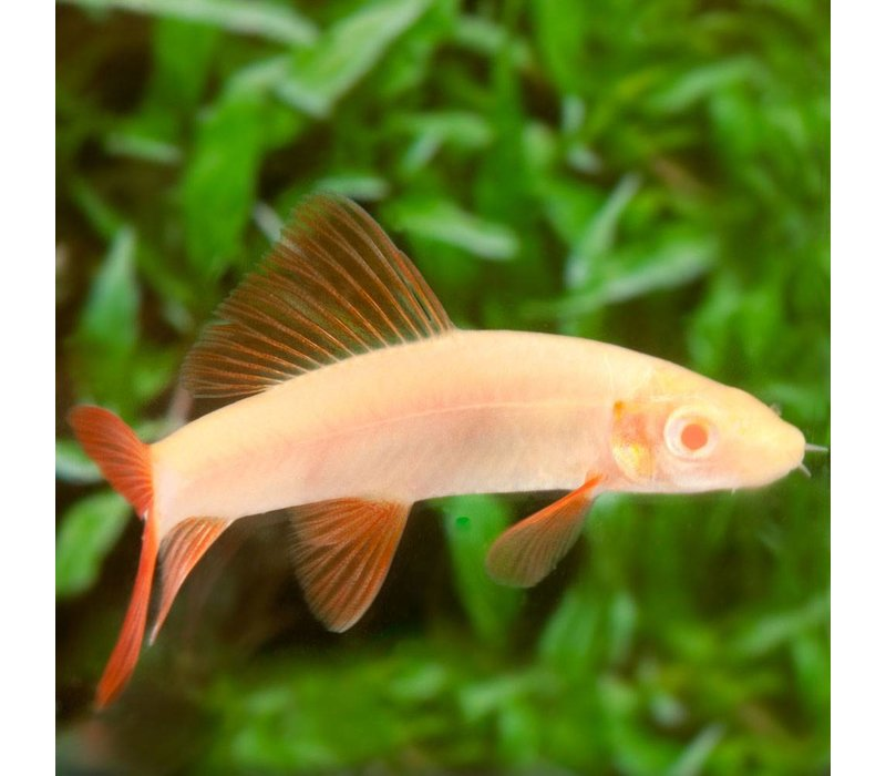 Labeo Frenatus (Albino) - Epalzeorhynchos Frenatus
