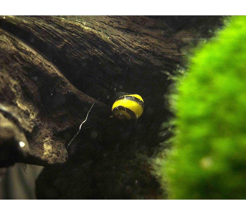 Horned Nerite Snail - Clithon Sp.