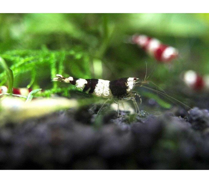 Crystal Black Shrimp - Caridina Cf. Cantonensis 'Crystal Black'