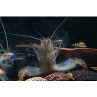 Vampire Shrimp - Atyopsis Gabonensis