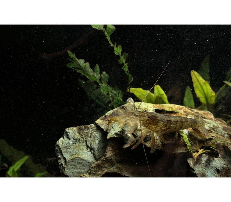 Bamboo Shrimp - Atyopsis Moluccensis