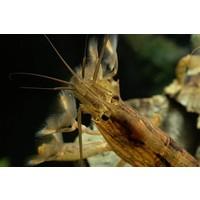 Molukse Waaierhand - Atyopsis Moluccensis