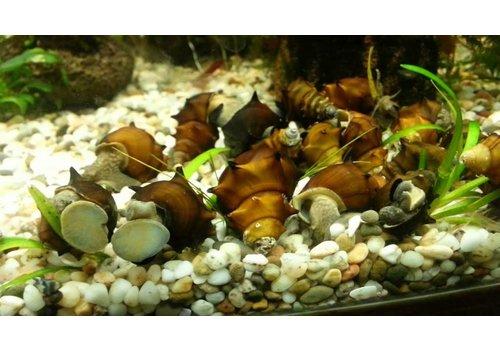 Horned Armour Snail