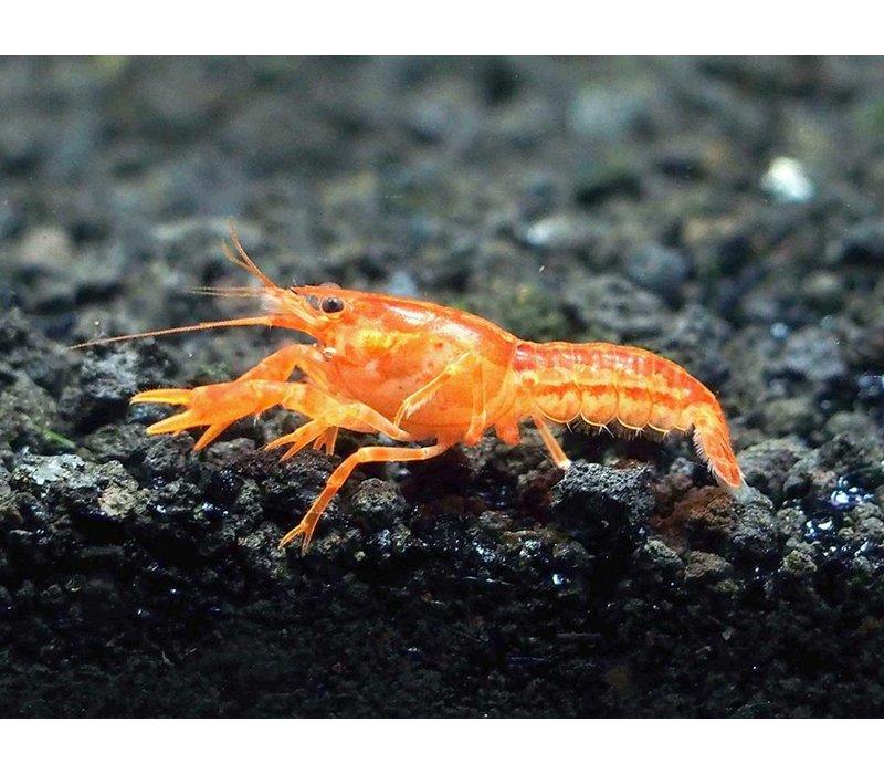 Oranje Dwergkreeft - Cambarellus Patzcuarensis Orange
