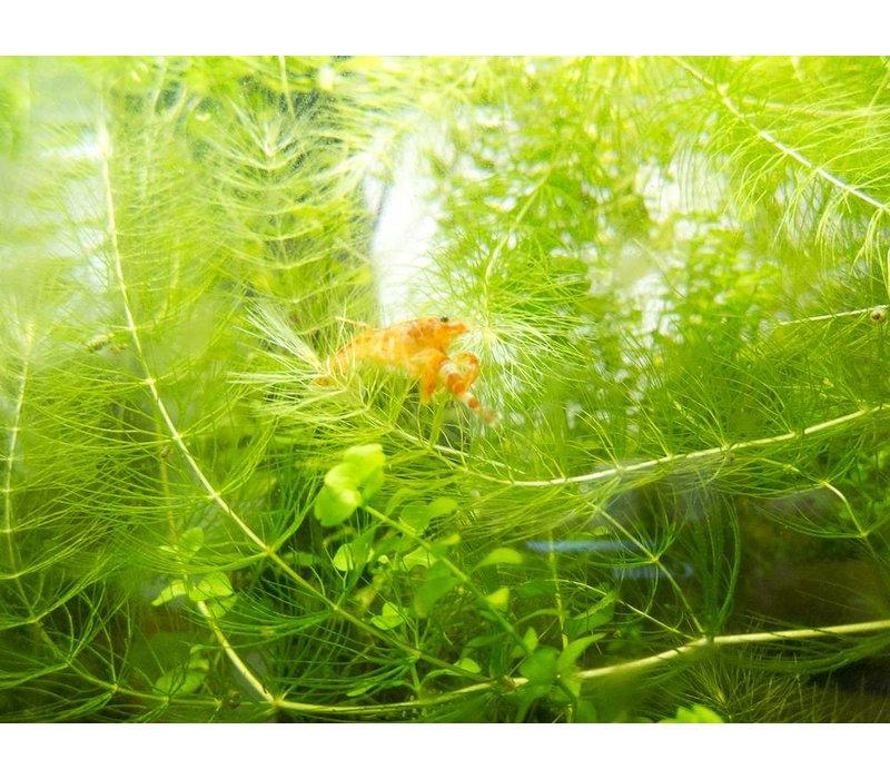CPO Crayfish - Cambarellus Patzcuarensis Orange