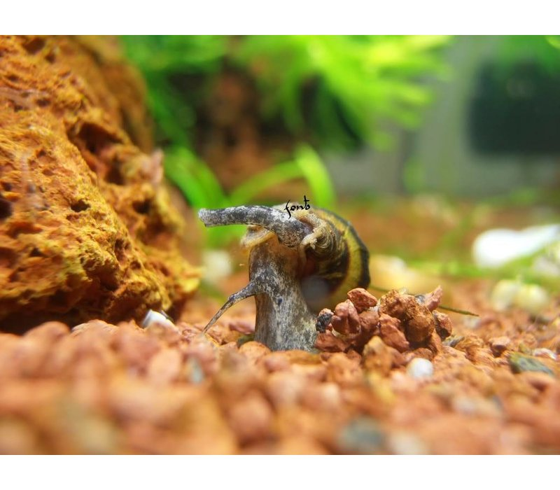 Assassin Snail - Anentome Helena