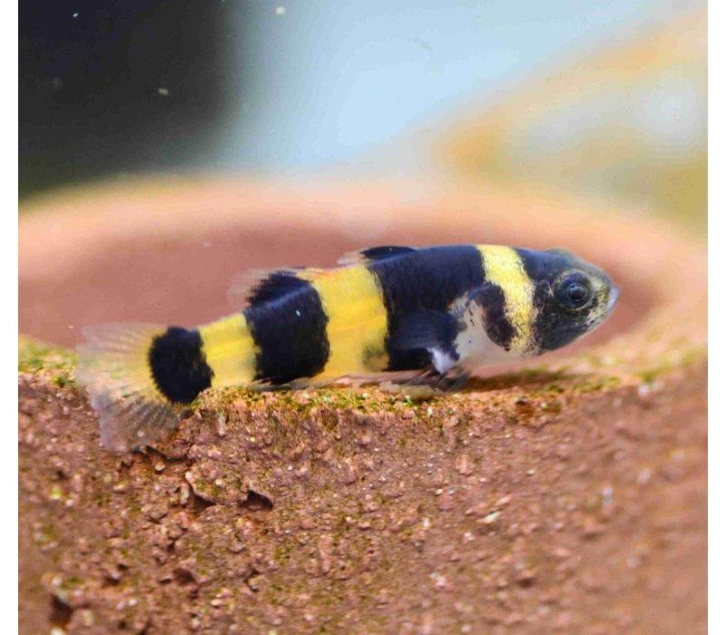 Bumblebee fish - Brachygobius Xanthozona