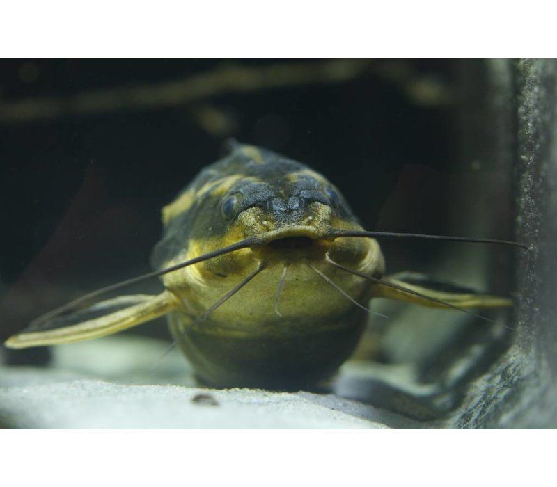 Striped Raphael catfish - Platydoras Dentatus