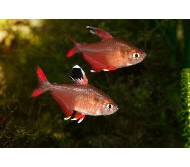 Roze Tetra - Hyphessobrycon Bentosi Rosaceus
