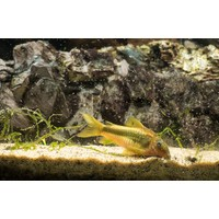 Corydoras Gold Laser - Corydoras Peru