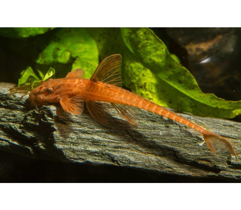 Rineloricaria Sp. Red