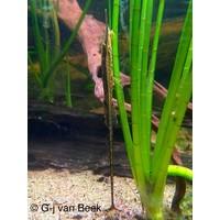 Twig Catfish - Farlowella Acus