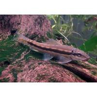 Chinese Algeneter - Gyrinocheilus Aymonieri