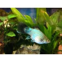 Platy Blue (Wagtail) - Xiphophorus Maculatus