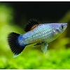 Platy Blauw (Wagtail) - Xiphophorus Maculatus