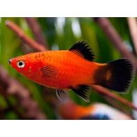 Platy Red (Wagtail) - Xiphophorus Maculatus