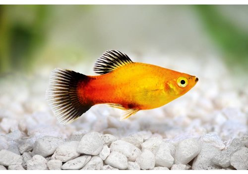 Platy Gold (Wagtail)