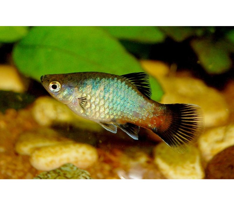 Platy Rainbow (Wagtail) - Xiphophorus Maculatus