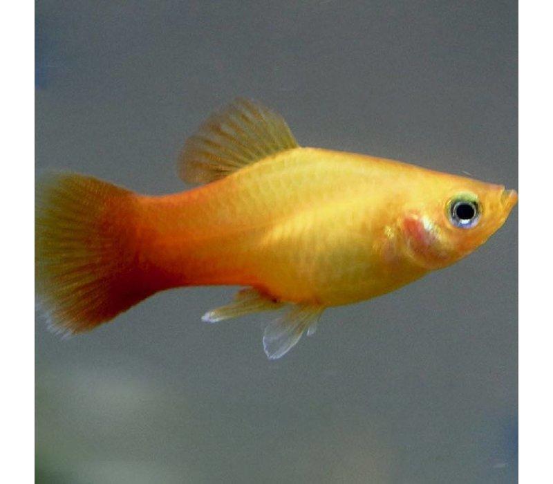 Platy Gold - Xiphophorus Maculatus