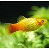 Platy Goud - Xiphophorus Maculatus