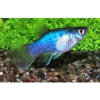 Platy Blauw - Xiphophorus Maculatus