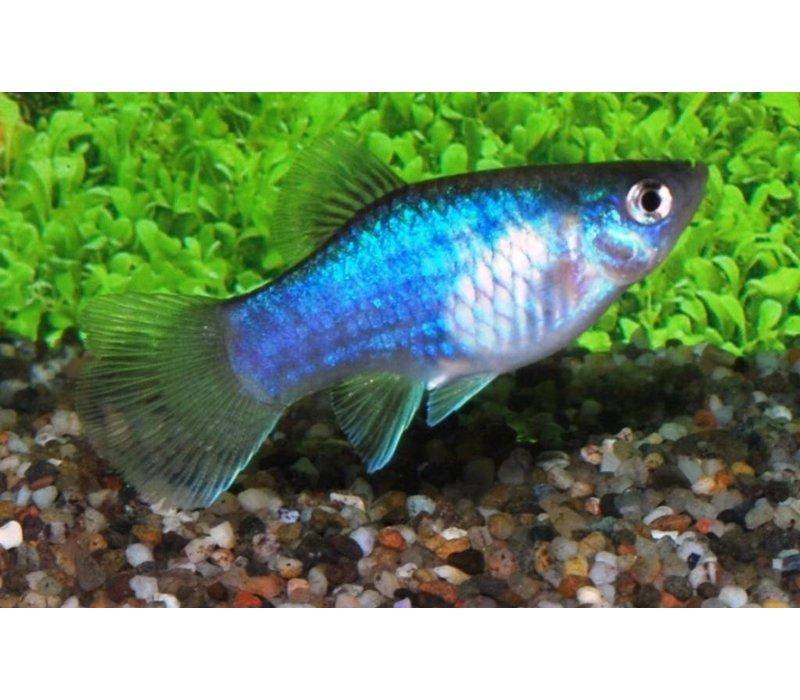 Platy Blue - Xiphophorus Maculatus